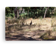 Kangaroos at Hanging Rock, Central Victoria, Australia Canvas Print