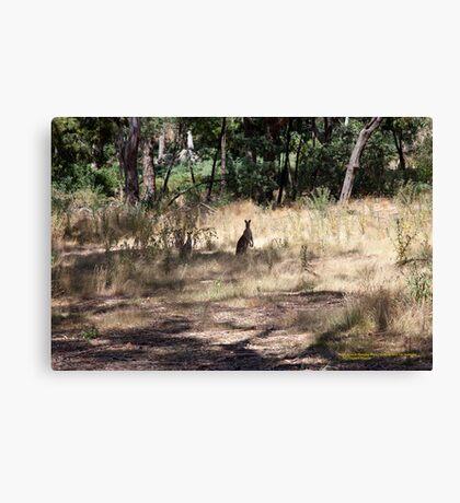 Kangaroos at Hanging Rock, Central Victoria, Australia Canvas Print