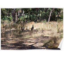 Kangaroos at Hanging Rock, Central Victoria, Australia Poster