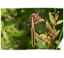 Female Spangled Skimmer Poster