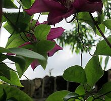 a mauve clematis among the pink by margaret hanks