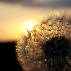 Sunset Dandelion by Chris-Cox