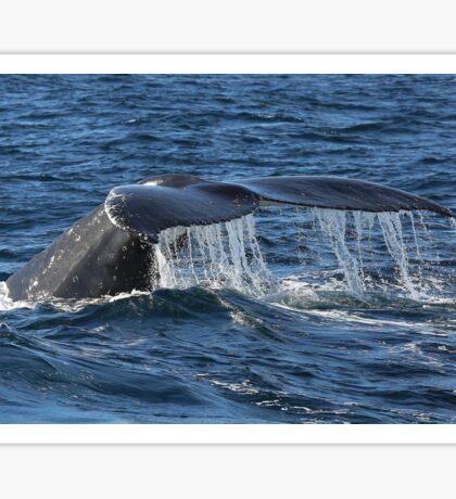 Humpback Whale. Sticker
