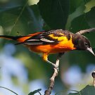 Baltimore Oriole male by Dennis Cheeseman