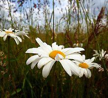 Marguerite & wild grasses by Antoinette B