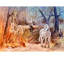 France - White Horses and Bull in The Camargue Photographic Print