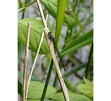 Damselfly 2 Photographic Print