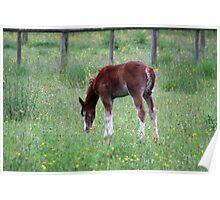 Summer Foal Poster