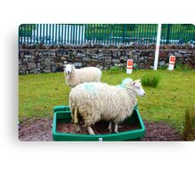 Silly Sheep Canvas Print