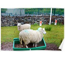 Silly Sheep Poster