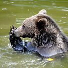 Nose Washing  Bear style. by Dorothy Thomson