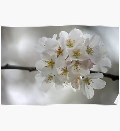 Spring Cherry Tree Blossoms Poster