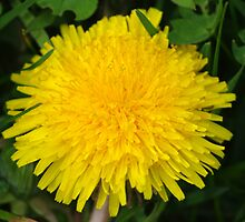 Yellow Giant Dandelion Flower by Shari Rucker