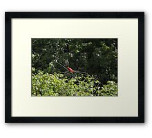 Wet Cardinal Framed Print