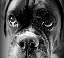 Oh Please... Let It Rain Cookies ~ Boxer Dog Series ~ by Evita