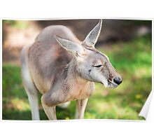 Kangaroo outside Poster