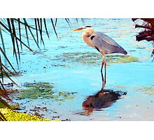 Great blue under palm Photographic Print