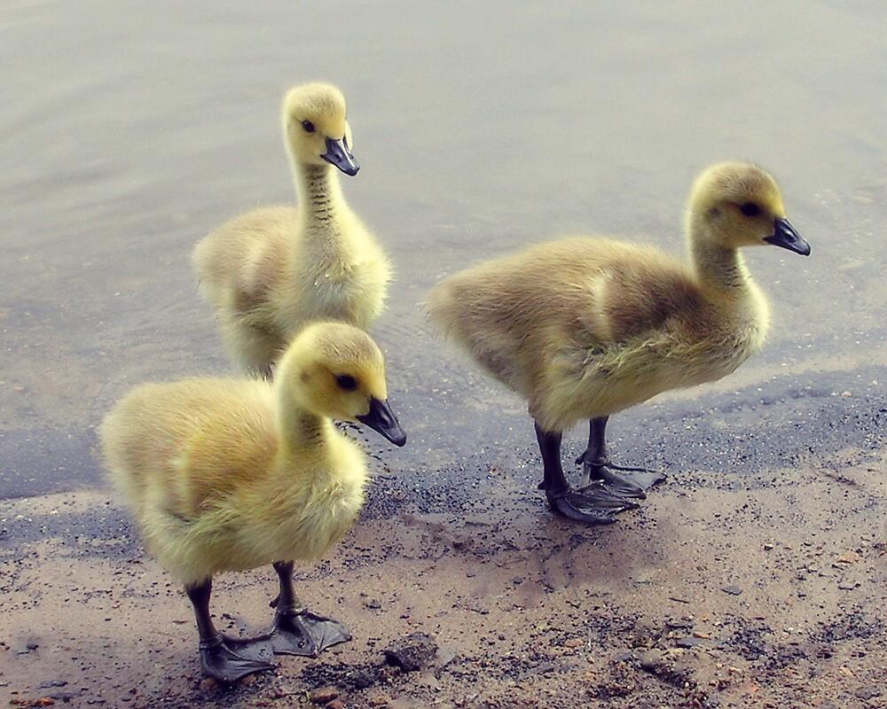 Cute Goslings by LittlePhotoHut