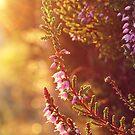 Purple Heather by LittlePhotoHut