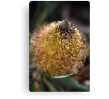 Banksia Flower Canvas Print