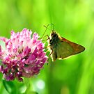 Small Skipper on a Red Glover by Russell Couch
