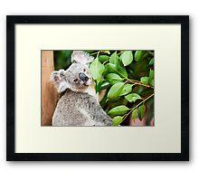 Koala by itself in a tree. Framed Print