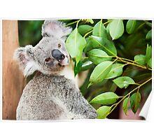 Koala by itself in a tree. Poster