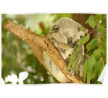 Koala by itself in a tree. Poster