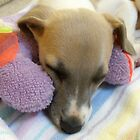 A Dog's Life - Whippet Pup Taking a Cat-nap by marinar