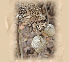 Hydrangea In Winter Guise by MotherNature2