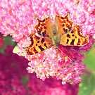 Comma Butterfly by LittlePhotoHut