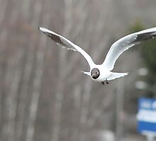 Seagull flying by UpNorthPhoto