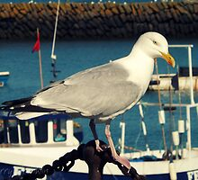 Herring Gull by Cherry Franklin