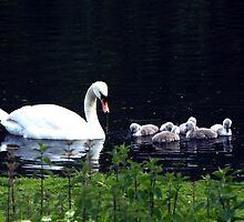 Swan and Cygnets by rosepetal2012