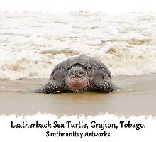 Leatherback Sea Turtle, Grafton, Tobago. 01 by santimanitay