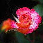 Rose Mardi Gras by Rona Black