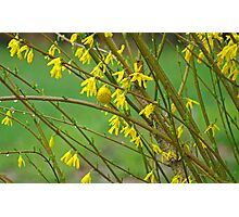 American Yellow Warbler amongst Forsythia Blooms Photographic Print