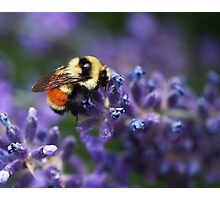 Bumblebee on Lavender Photographic Print