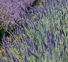 Lavender Fields by Happy Endings..... Cards & Prints