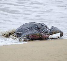 Leatherback Sea Turtle, Grafton, Tobago. 02b by santimanitay