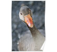 Hello (Inhabitant in small national park and bird habitat in Oslo, Norway) Poster