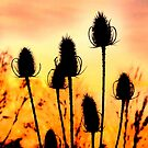 Common Teasles Sunset Silhouettes by ©The Creative  Minds