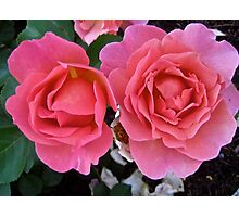 Governor General's Roses  #2 Photographic Print