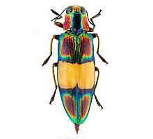 Chrysochroa fulgens jewel beetle Photographic Print