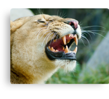 Lion Grin Canvas Print