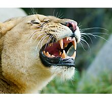 Lion Grin Photographic Print