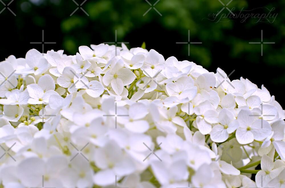 White Hydrangeas by Scott Mitchell