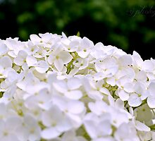 White Hydrangeas by Scott Mitchell