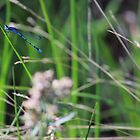 Blue Damselfly by Wes Hebert