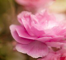 ...olde fashion pink rose......... by Jane Anastasia Studio